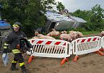 Le immagini del camion di maiali ribaltato a Piadena