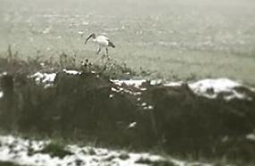 Ibis sacro, avvistata coppia lungo la Melotta