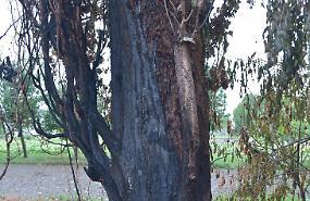 Vandali piromani incendiano alberi secolari
