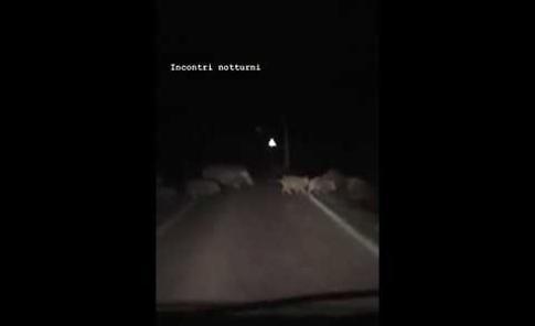 VIDEO Un branco di 10 cinghiali tra San Daniele Po e Pieve d'Olmi